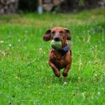 Dachshunds and chewing