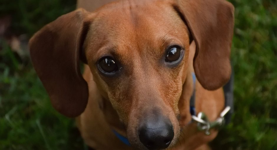 History of the Dachshund Name